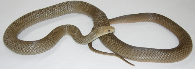 Common-brown-snake-lighter-color
